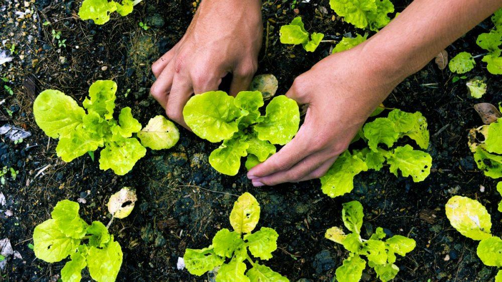 Trồng rau hữu cơ